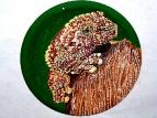 Theloderma corticale, или вьетнамская болотная лягушка