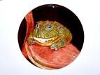 Pyxicephalus adspersus (африканская лягушка-бык)