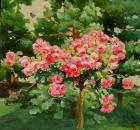 Сосны и розы