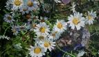 Цветы №22. Ромашки