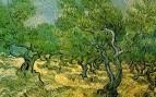 Роща олив