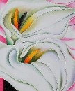 Two Calla Lillies on Pink