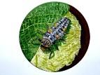 Личинка Божьи коровки (лат. Coccinellidae) — семейство жуков,