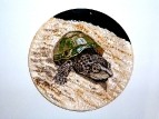 Мускусная черепаха (Sternotherus odoratus).