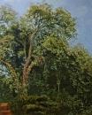 Дерево в парке Киджи